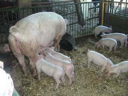 可愛い豚の親子.jpg