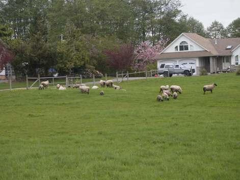 羊.jpg